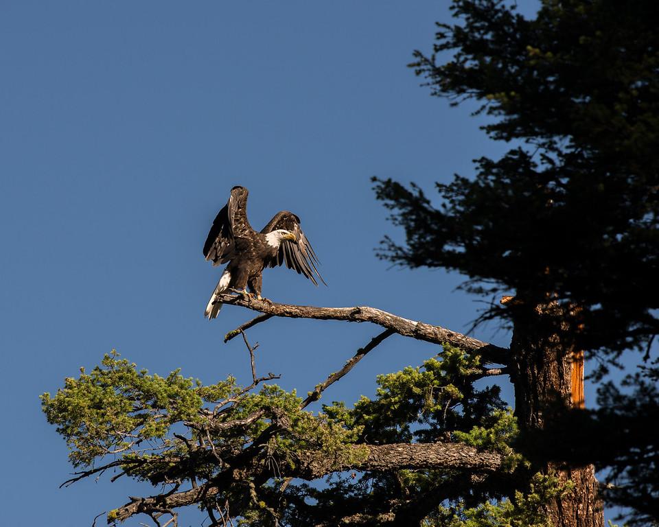 Bald Eagle, Yellowstone